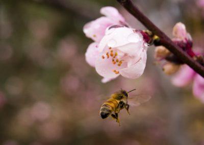 Bee_Peach_Blossom